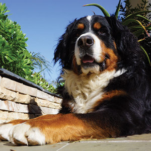 Von ProteaVille – Bernese Mountain Dogs South Africa